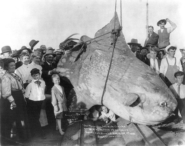 ikan mola mola ikan paling besar pernah ditangkap oleh manusia