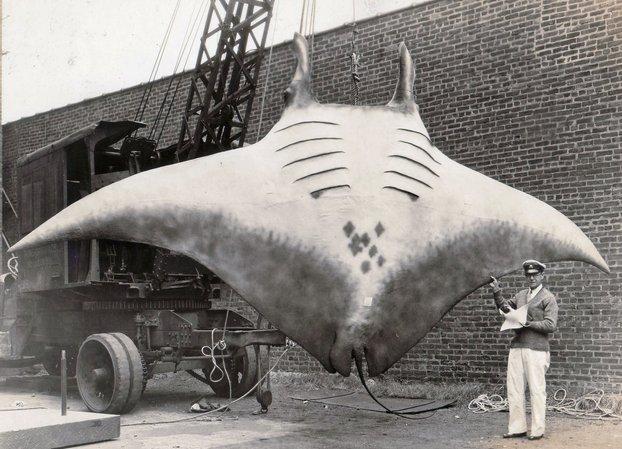 ikan pari manta ikan paling besar pernah ditangkap oleh manusia