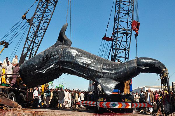 ikan paus jerung ikan paling besar pernah ditangkap oleh manusia