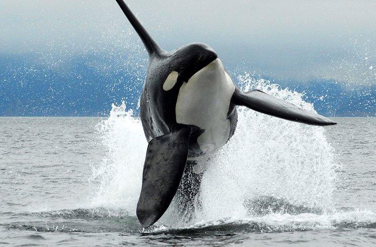 ikan paus pulau vancouver kanada