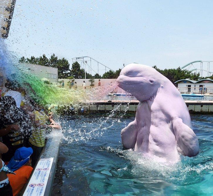 ikan paus putih beluga