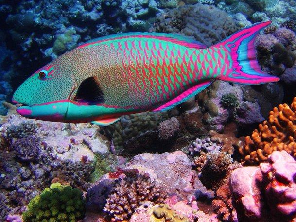ikan rainbow parrot antara ikan paling cantik di dunia 602