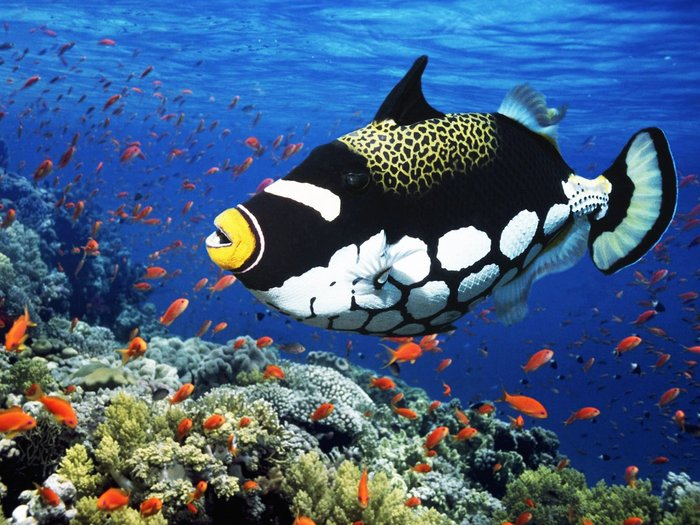 ikan trigger antara ikan paling cantik di dunia 780