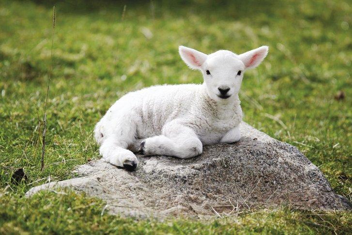 ini perbezaan lamb dan mutton yang ramai tak tahu 3