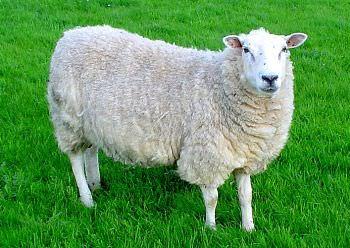ini perbezaan lamb dan mutton yang ramai tak tahu 6