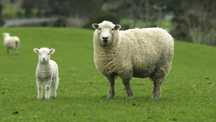 ini perbezaan lamb dan mutton yang ramai tak tahu