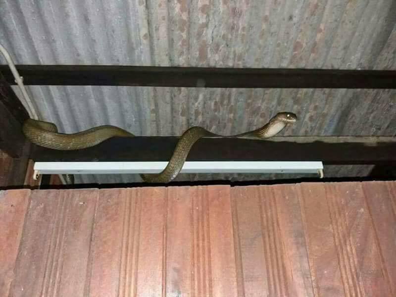ini tindakan yang perlu dilakukan jika ular masuk ke dalam rumah anda 2 926