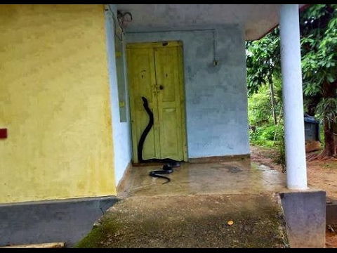 ini tindakan yang perlu dilakukan jika ular masuk ke dalam rumah anda 6