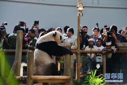 jantina anak panda gergasi belum dikenalpasti