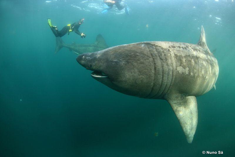 jerung basking ikan paling besar pernah ditangkap oleh manusia