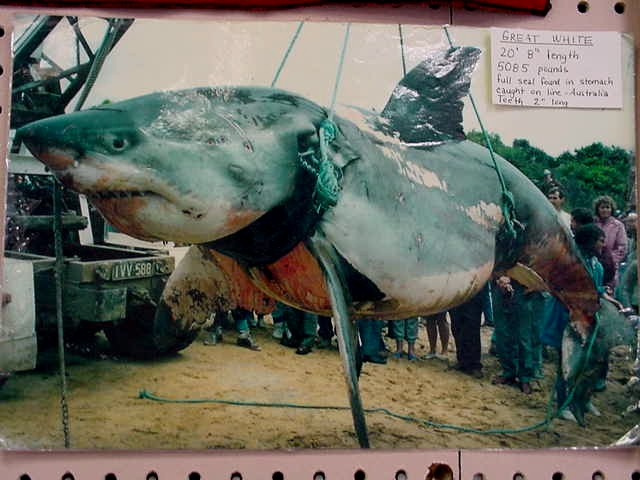 jerung putih ikan paling besar pernah ditangkap oleh manusia
