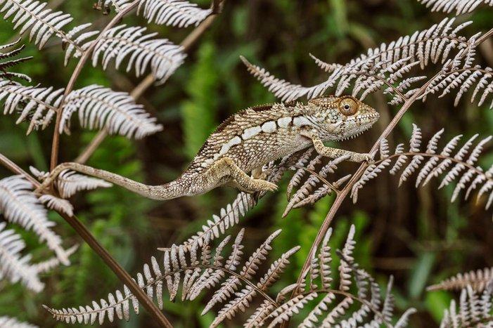 kameleon teknik penyamaran haiwan yang hebat