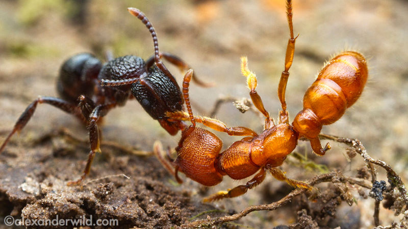 kandungan rembesan toksik beracun semut