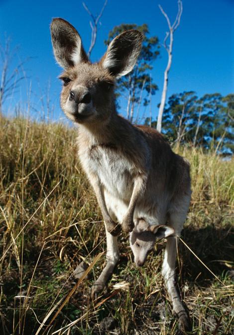 kanggaru mengendong anak di dalam kantung