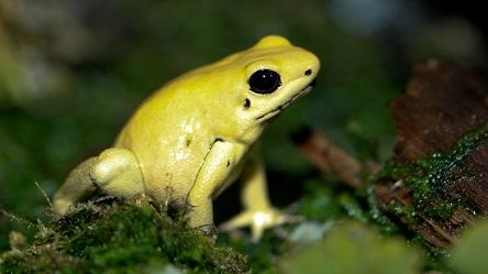 katak emas beracun 251