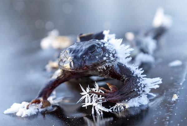 katak mati sejuk beku