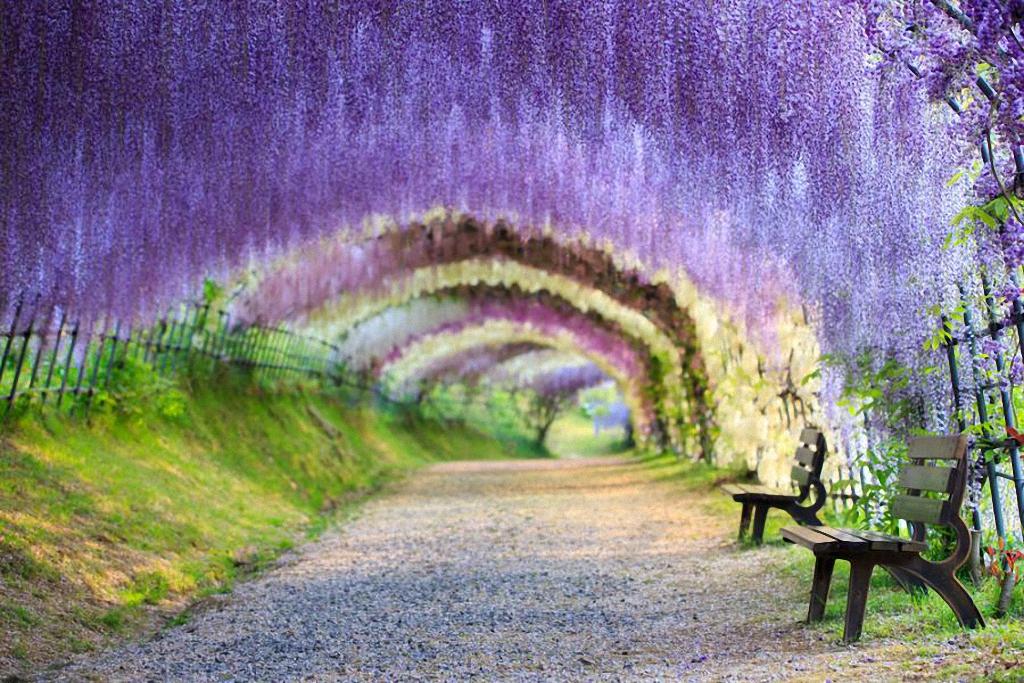 kawachi fujien wisteria garden terowong wisteria cantik gila