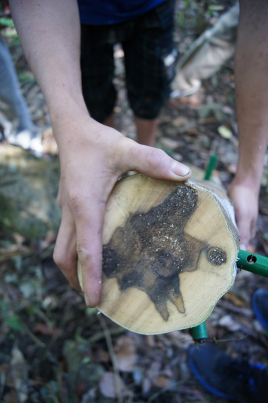 kayu gaharu terhasil akibat kulat