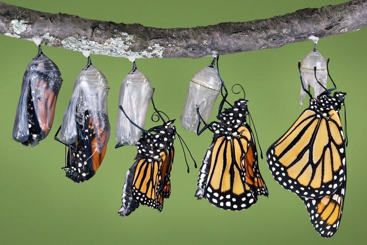 kepompong kepada kupu kupu