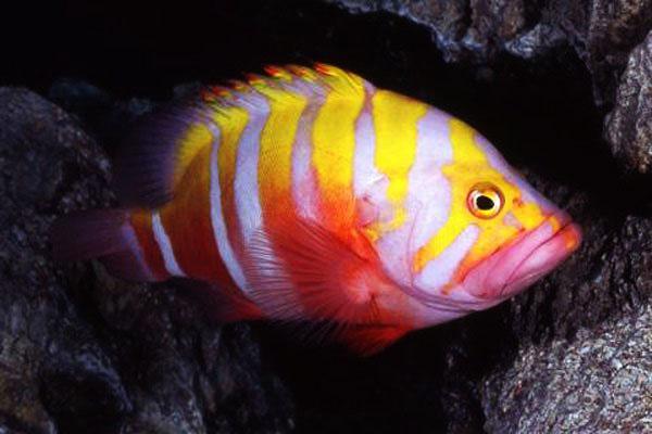 kerapu neptune ikan tropika paling mahal di dunia