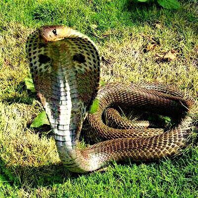 king cobra 507