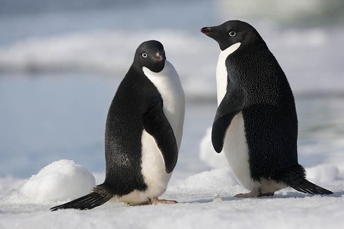 koloni mega penguin dijumpai kepulauan danger antartika 2 5ad14