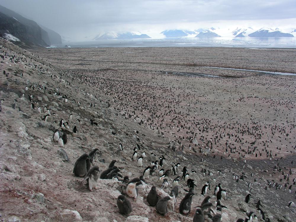 koloni mega penguin dijumpai kepulauan danger antartika 2 5ad75