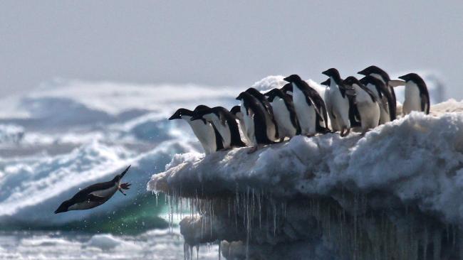 koloni mega penguin dijumpai kepulauan danger antartika 2