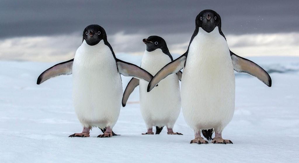 koloni mega penguin dijumpai kepulauan danger antartika