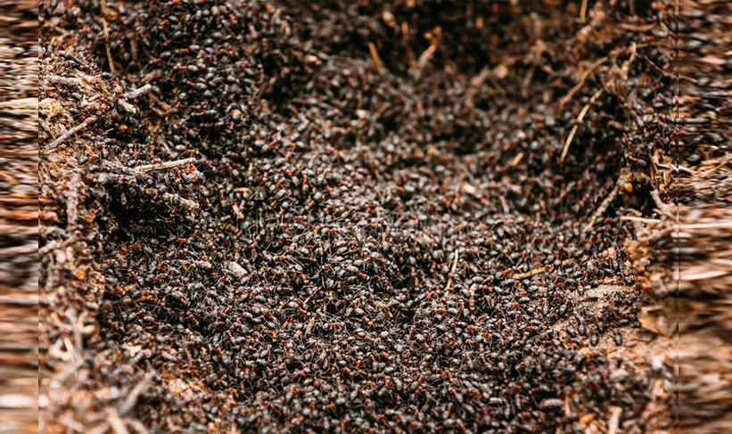koloni semut mengancam ketam merah
