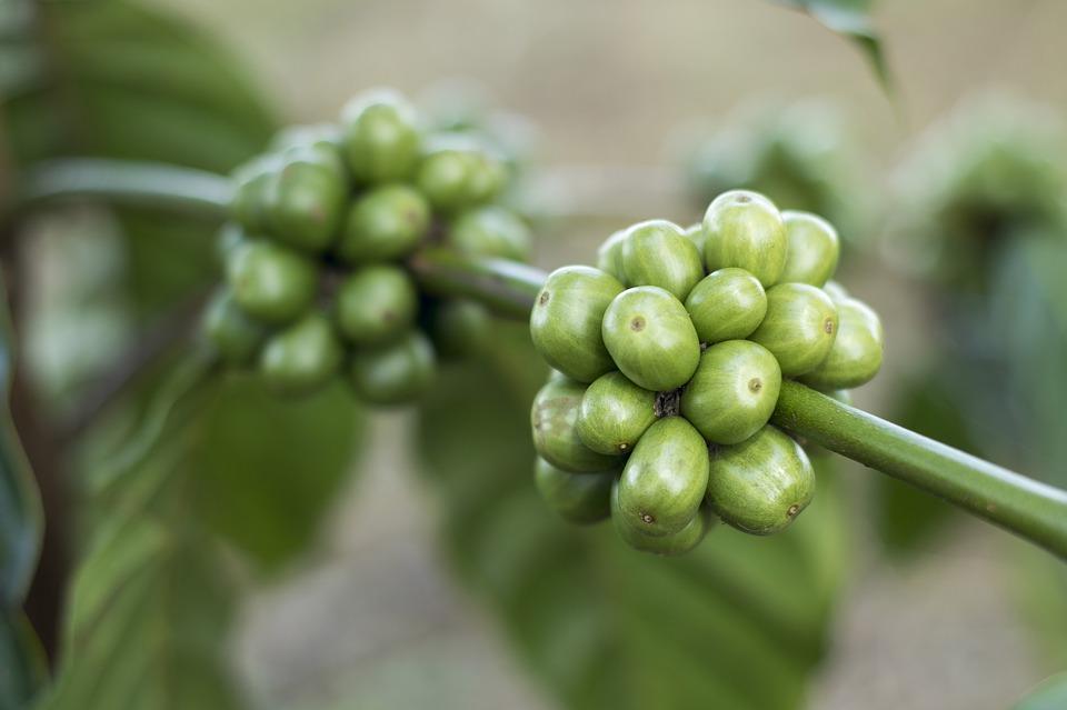 kopi hijau asli