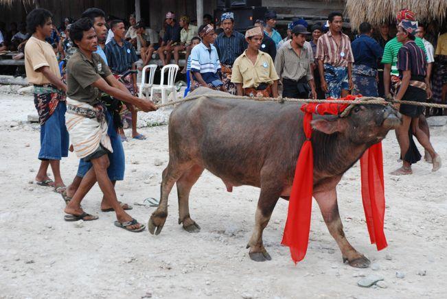 korban darah kaum sumba pasola lawan lembing atas kuda kepercayaan indonesia korban haiwan