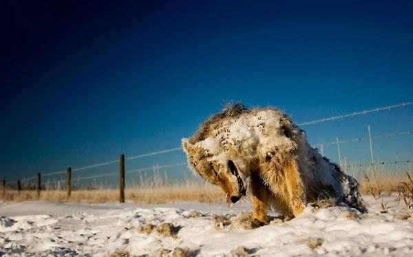 koyote haiwan mati sejuk beku