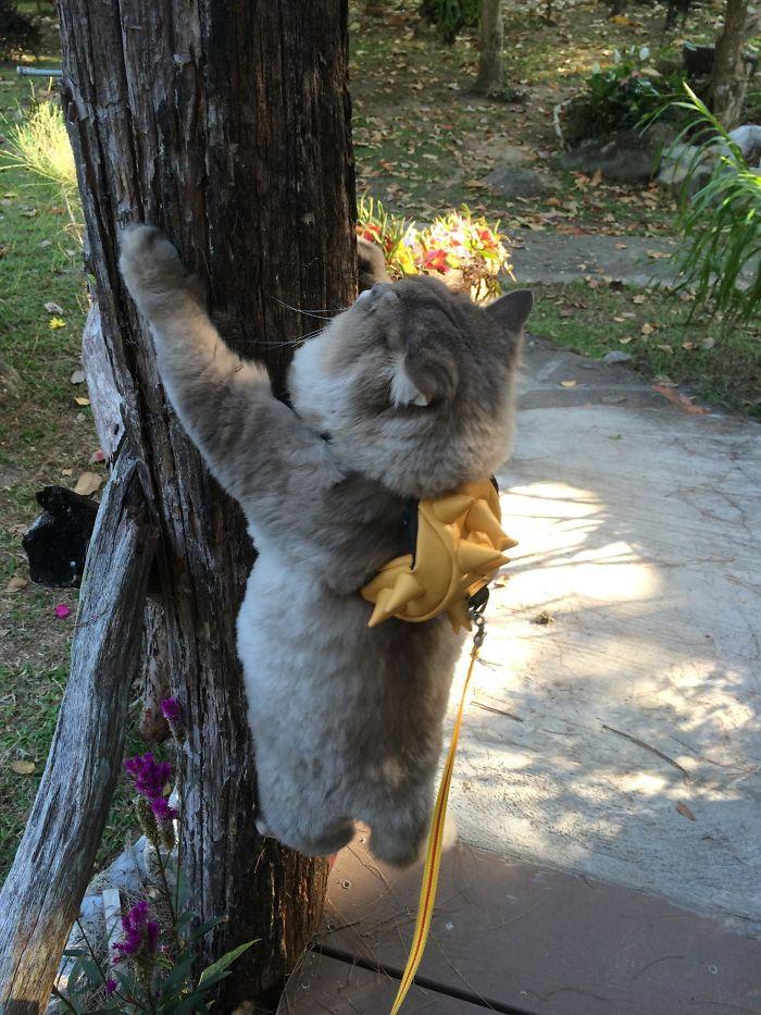 kucing bone bone memanjat pokok