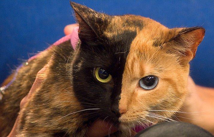 kucing dua wajah