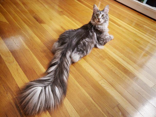 kucing ekor panjang