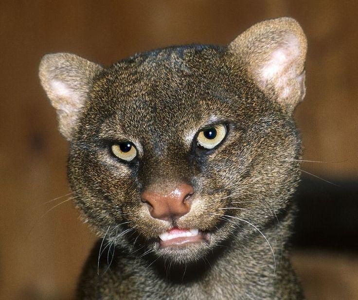 kucing jaguarundi berbulu gelap