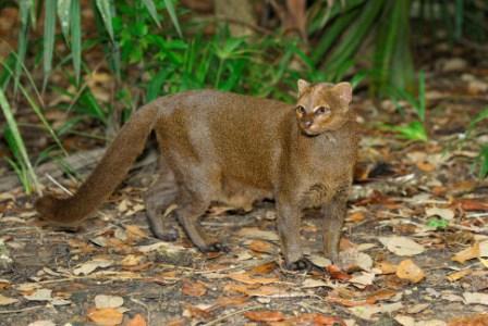 kucing jaguarundi