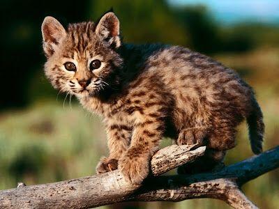 kucing kodkod yang masih kecil