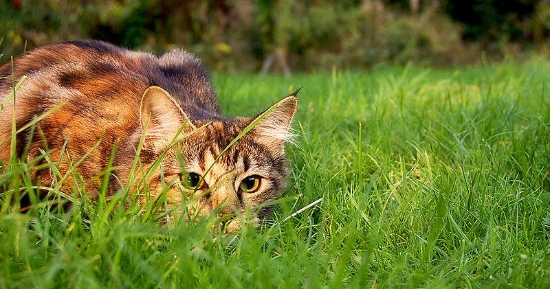 kucing memburu