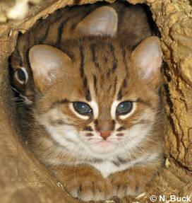 kucing rusty spotted yang masih kecil