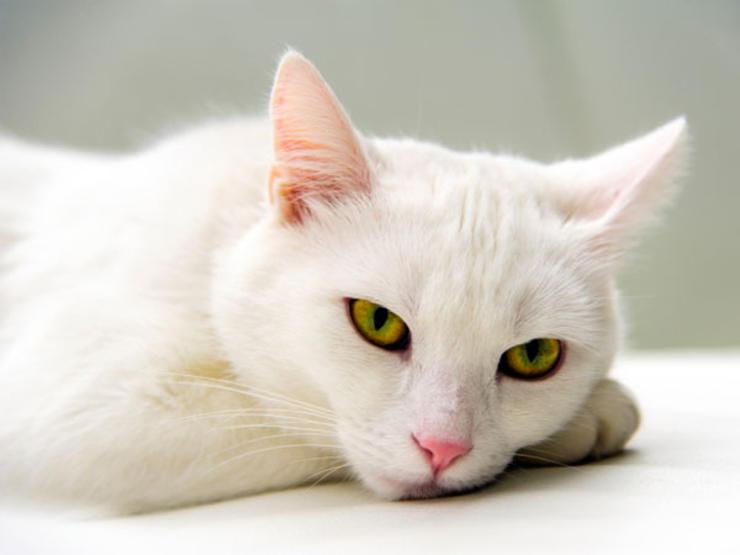 kucing yang diam jangan disangka tiada penyakit