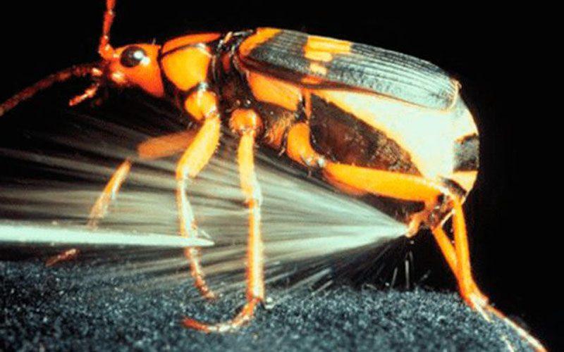 kumbang penembak