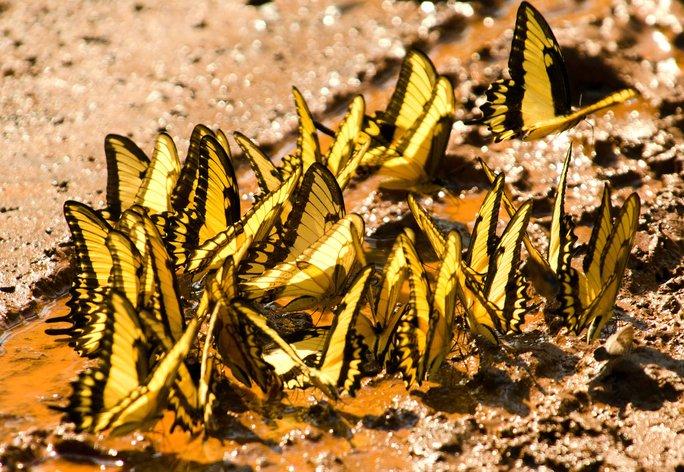 kupu kupu melakukan mud puddling