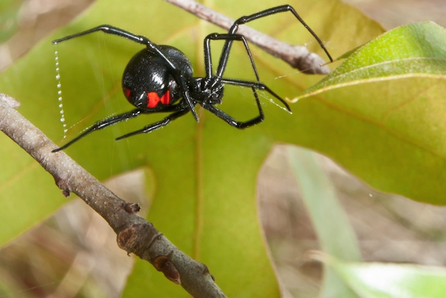 labah labah black widow labah labah paling berbisa dan berbahaya di dunia