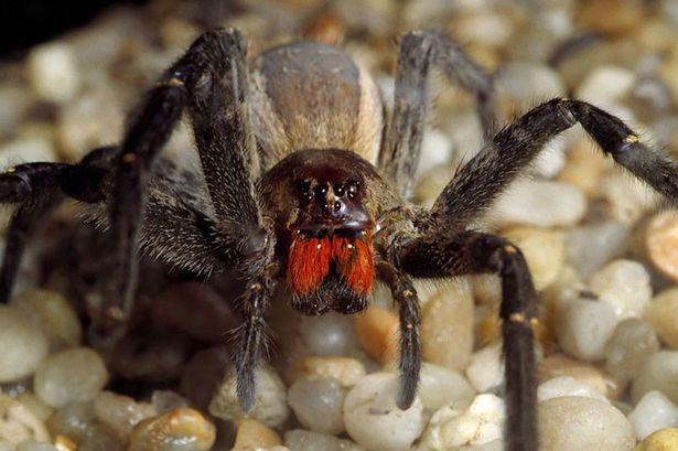 labah labah brazilian wandering labah labah paling berbisa dan berbahaya di dunia