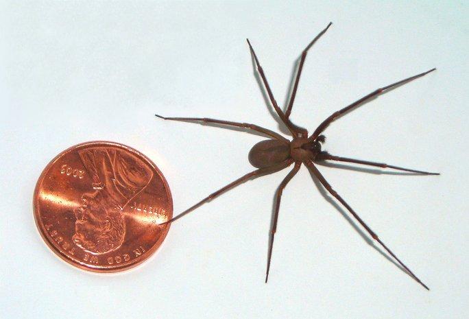 labah labah brown recluse labah labah paling berbisa dan berbahaya di dunia