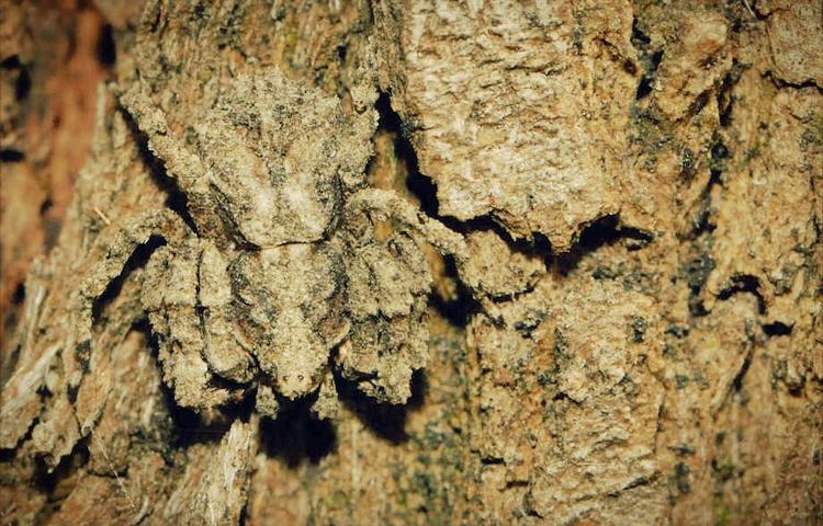 labah labah knobbly crab teknik penyamaran haiwan