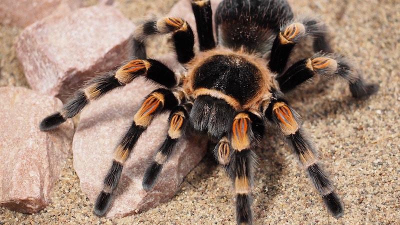 labah labah paling berbisa dan berbahaya di dunia