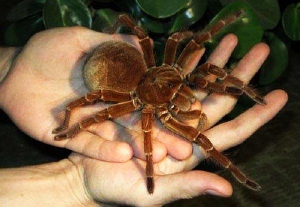 labah labah paling besar di dunia
